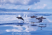 Atlantic spotted dolphins, jumping, Stenella frontalis, <br /> Azores Islands, Portugal ( North Atlantic Ocean )