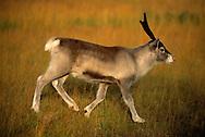 Reindeer calf, Rangifer tarandus, Vindelfjallen nature reserve, Lapland, Vasterbotten, Sweden