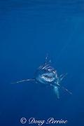 shortfin mako shark, Isurus oxyrhinchus, female, accompanied by pilot fish, Naucrates ductor, King Bank, North Island, New Zealand ( South Pacific Ocean )