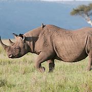 White Rhinoceros (Ceratotherium simum) in Masai Mara National Reserve, Kenya, Africa.