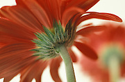Gerbera flower seen from behind