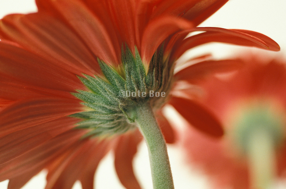 Gerbera flower seen from behind