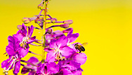 Photo Randy Vanderveen<br /> Grande Prairie, Alta. <br /> The magenta flowers of a fireweed plant stand out in contrast against the blooming canola field behind it. The bright coloured wild flower is Yukon's official flower.
