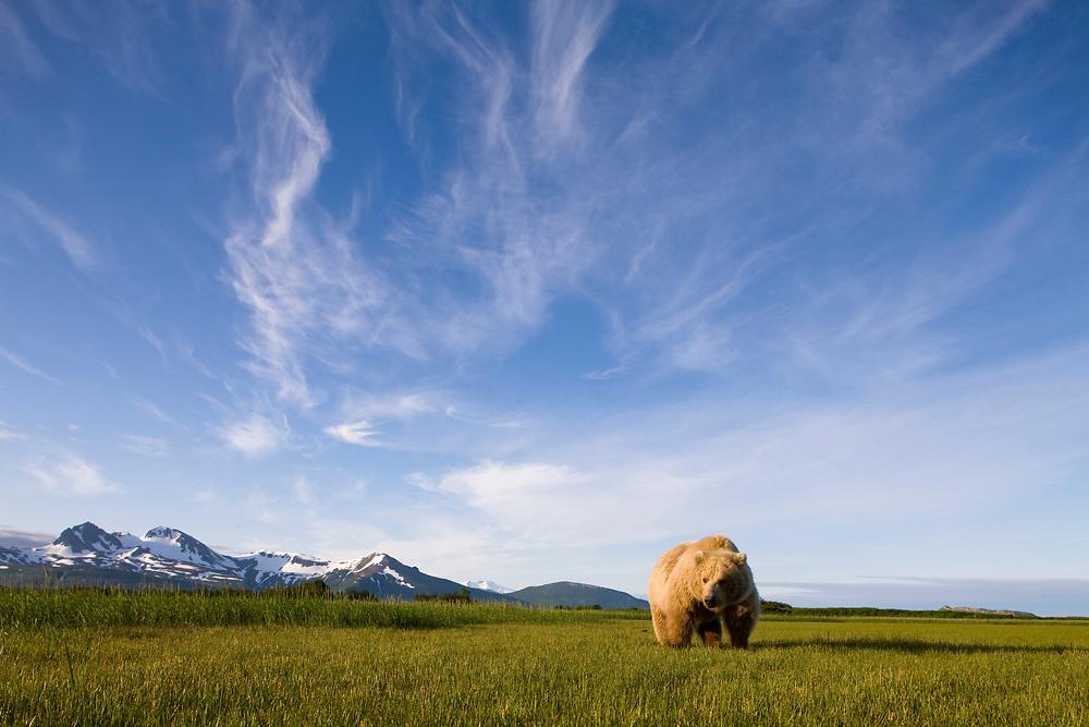 USA, Alaska, Katmai National Park, Brown Bear (Ursus arctos) standing in meadow along Hallo Bay at sunset