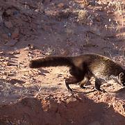 Coati Mundi, (Nasua narica)  Foraging for food. Southwest Arizona.  Captive Animal.
