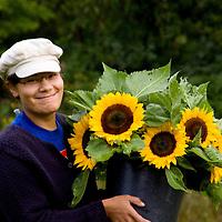 Organic sunflower harvest.