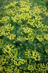 Euphorbia cyparissias. Cypress spurge