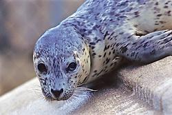 Harbor Seal, The Marine Mammal Center