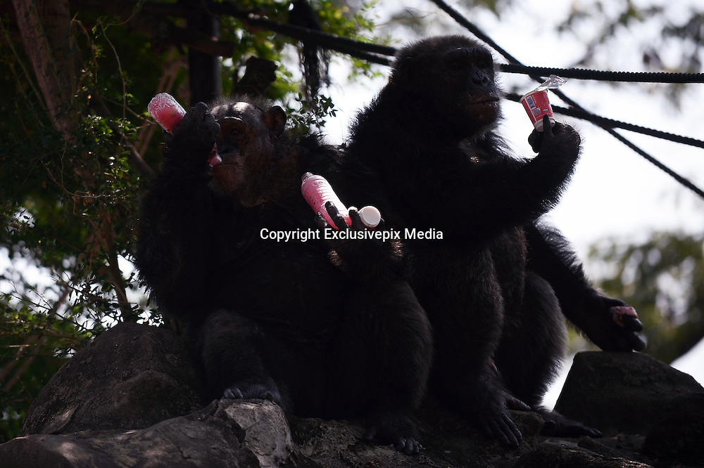 March 17, 2016 - Bangkok, thailand - <br /> <br /> Chimpanzees enjoys bottles of frozen juice and a yogurt on a hot summer day at Dusit Zoo, know as Khao Din in Bangkok, Thailand on March 17, 2016. <br /> ©Exclusivepix Media