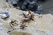 Sandworm (Alitta virens or Nereis virens), Frazer Point, Acadia National Park, Maine.