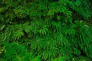 Maidenhair Fern Adiantum pedantum, Mount Rainier National Park, Washington, USA