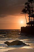 Hawaiian monk seal, Neomonachus or Monachus schauinslandi ( Critically Endangered ), 7 year old male, re-enters the water at sunset, next to condominium complex at La'aloa or Magic Sands Beach Park, Kailua Kona, Hawaii ( Big Island ) ( Central Pacific Ocean )