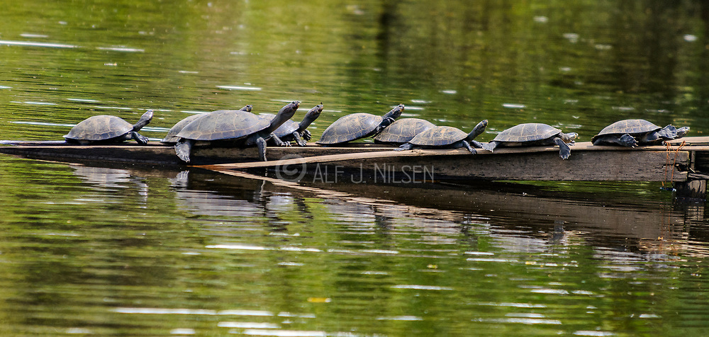 Yellow-spotted river turtles (Podocnemis unifilis) From Lake Garzacocha, Ecuador.