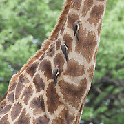 Birds grazing on giraffe. Skukuza. Kruger National Park. South Africa. Organization for Tropical Studies Trip 2009.