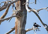 Double-crested Cormorants, Phalacrocorax auritus, nesting in a dead tree on the shore of Hyatt Lake, Oregon