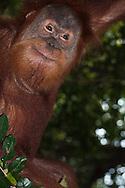 A young male Sumatran Orangutan (Pongo abelii) making faces in the rainforest of Gunung Leuser National Park, Sumatra, Indonesia