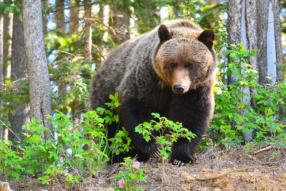 Grizzly Bear, Wildrose, Kananaskis, Alberta