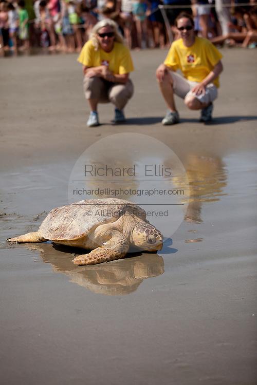 A rehabilitated loggerhead sea turtle released back to the ocean by the Turtle Rescue Team of the South Carolina Aquarium on the Isle of Palms, SC.