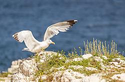 THEMENBILD - eine Seemöwe auf einem Felsstrand, aufgenommen am 27. Juni 2018 in Pula, Kroatien // a seagull on a rocky beach, Pula, Croatia on 2018/06/27. EXPA Pictures © 2018, PhotoCredit: EXPA/ JFK