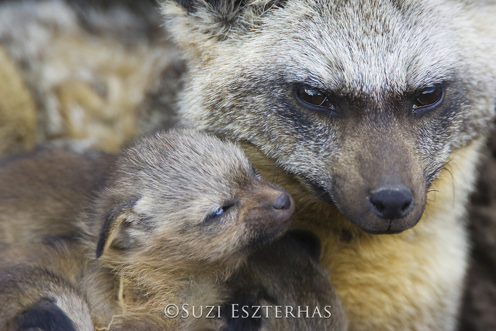Bat-eared fox<br /> Otocyon megalotis<br /> With 12 day old pup(s) in den<br /> Masai Mara Reserve, Kenya
