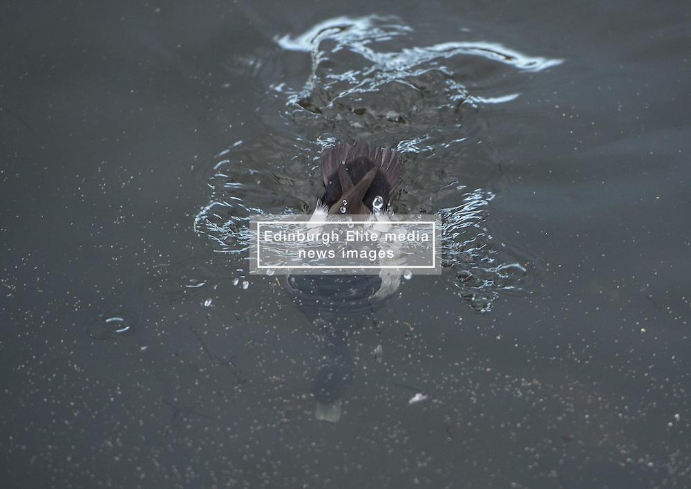 Bird in Figgate Park, Portobello, Edinburgh Pictured: Tufted Duck<br /> <br /> <br /> © Jon Davey/ EEm
