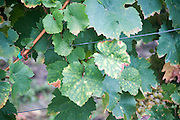 Grape leafs infected with Mosaic Virus. Net-like appearance with vein clearing shows infection by complex of virus pathogens.