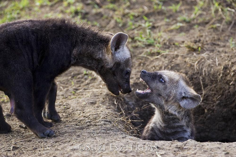 Spotted Hyena<br /> Crocuta crocuta<br /> 12-14 week old cubs playing at communal den<br /> Masai Mara Conservancy, Kenya