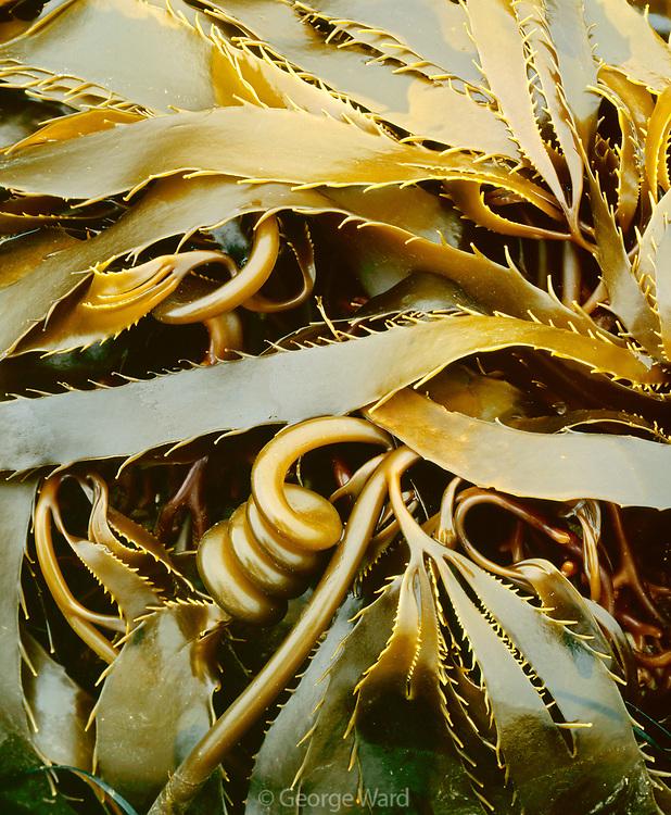 Detail of Intertidal Plant,Tidepool along Drakes BayPoint Reyes National Seashore, California