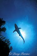 blacktip shark, Carcharhinus limbatus, Walker's Cay, Bahamas ( Western Atlantic )