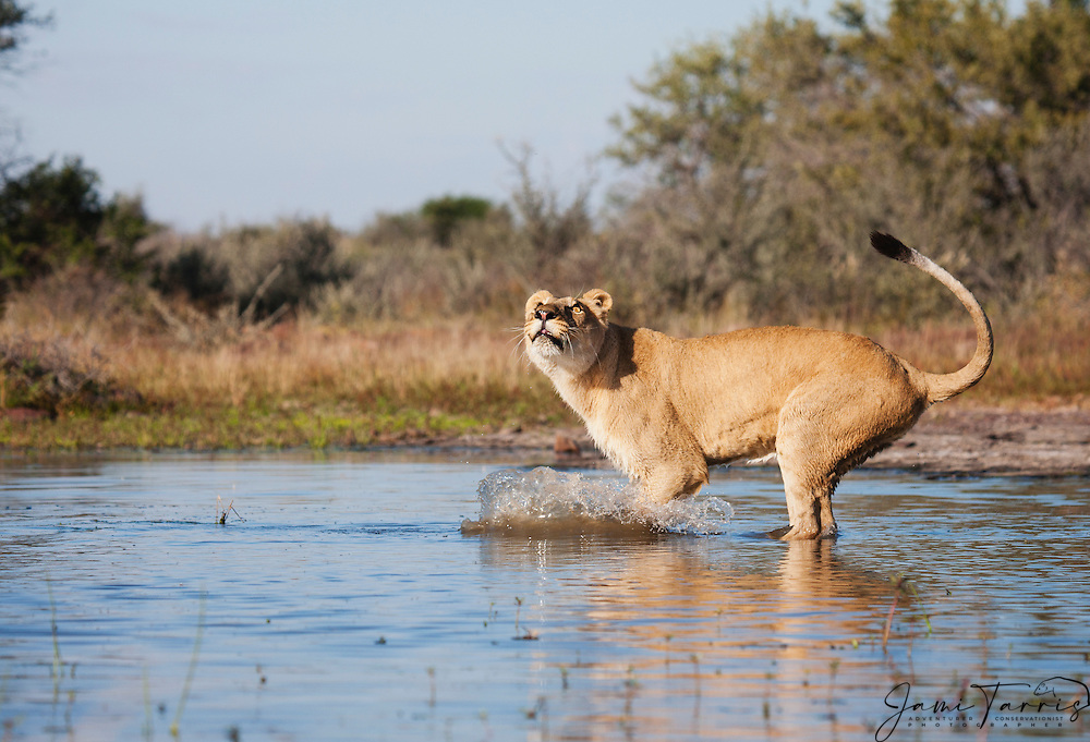 A lioness standing in a water hole watching the sky as birds fly overhead (Panthera leo), Kalahari Desert, Botswana Africa