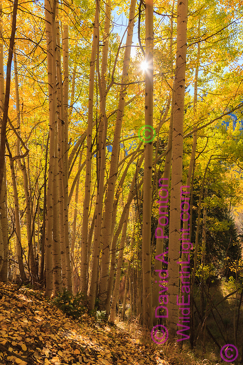 Autumn color in aspen stand, with sunburst, on mountain slope in the San Juan Mountains, CO, © David A. Ponton