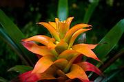 Rio de Janeiro_RJ, Brasil...Detalhe da bromelia no Jardim Botanico do Rio de Janeiro...A bromeliad in the Botanical garden in Rio de Janeiro...Foto: JOAO MARCOS ROSA / NITRO