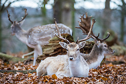 © Licensed to London News Pictures. 21/12/2016. London, UK. Young fallow deer in Richmond Park on winter solstice, the shortest day of the year. Photo credit: Rob Pinney/LNP