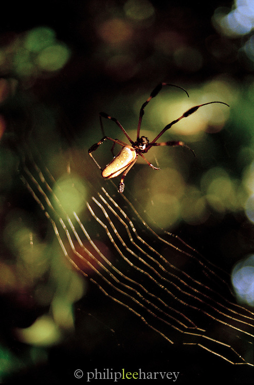 A Golden Orb-Web Spider, commonly known as the Banana Spider, in web at the Tortuguero National Park, East Coast, Tortuguera, Limon, Costa Rica