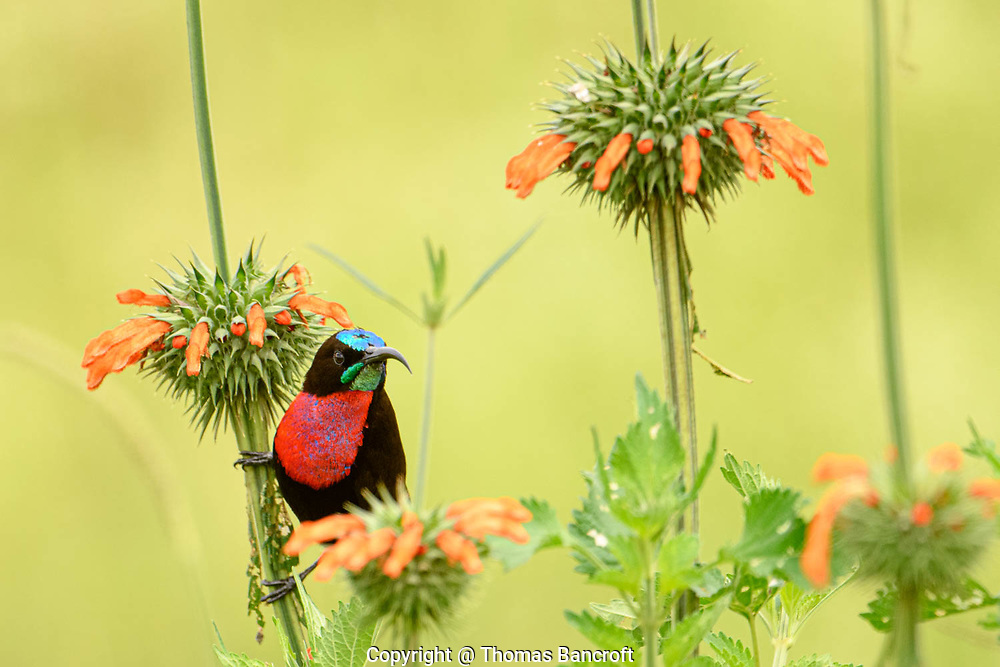 The Scarlet-chested Sunbird flitted to a new flower stem and hung just below the flower cluster looking back at me. Nairobi National Park, Kenya.