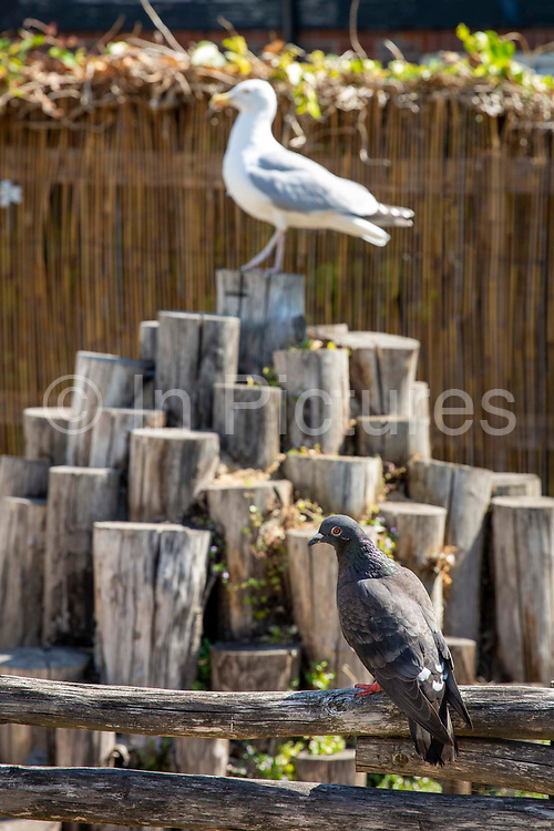 A pigeon sits on the fence of Pae White's Barking Rock Sculpture where a seagull sits keeping a close eye on it, on the 15th of June 2020 in Folkestone, United Kingdom. Pae White designed her Barking Rocks park for Pleydell Gardens in Folkestone as part of the Triennial Art show of 2011. It was designed as a small park to meet the needs of the local elderly residents and their dogs that needed exercise.