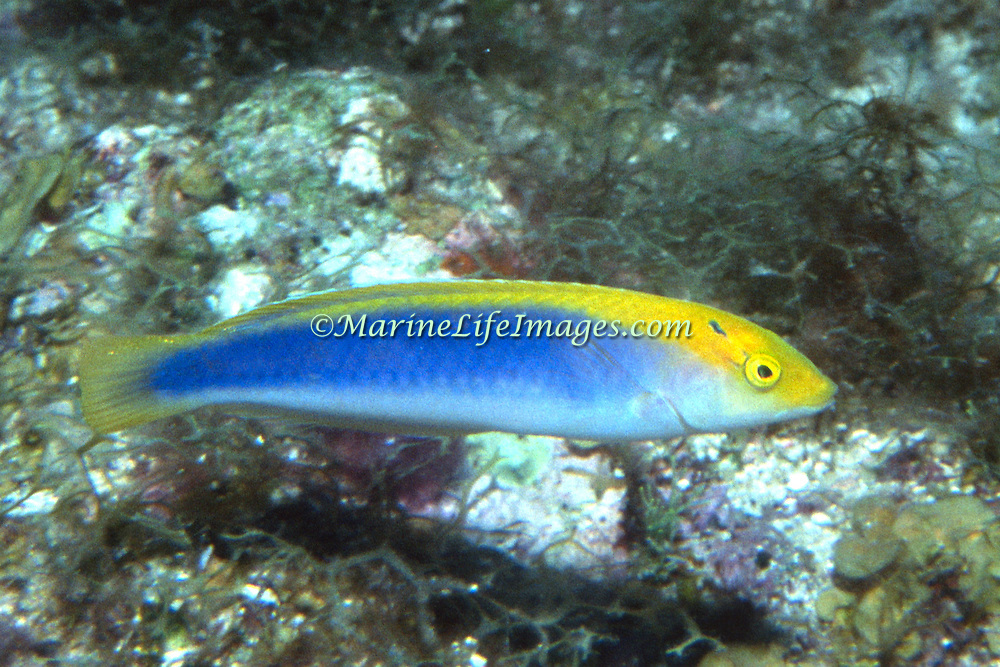 Yellowcheek Wrasse constantly swim about reefs usually deeper than 60 ft. in Tropical West Atlantic; picture taken Dry Tortugas. FL.