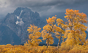 Autumn foliage spotlighted by the sun frames Mt Moran in Grand Teton National Park as storm clouds loom overhead