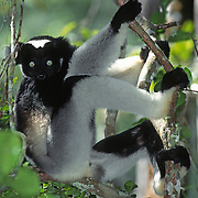 Indri Lemur (Indri indri) is the largest of the lemurs and inhabits the forests of Madagascar.