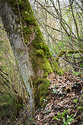 "Epiphytic moses like Neckera complanata, Leucodon sciuroides and Homalia trichomanoides covers the trunk of old tree in broadleaved forest on slopes of river Ruņa, nature reserve ""Ruņupes ieleja"" (dabas liegums ""Ruņupes ieleja""), Kurzeme, Latvia Ⓒ Davis Ulands | davisulands.com"