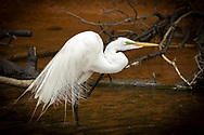 A great egret scratches an itch in the Herring River.