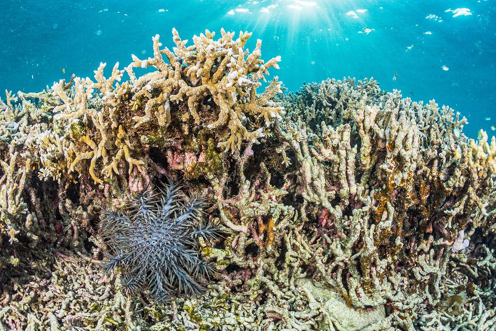 Crown of Thorns Seastar (Acanthaster planci) eating coral, Palau