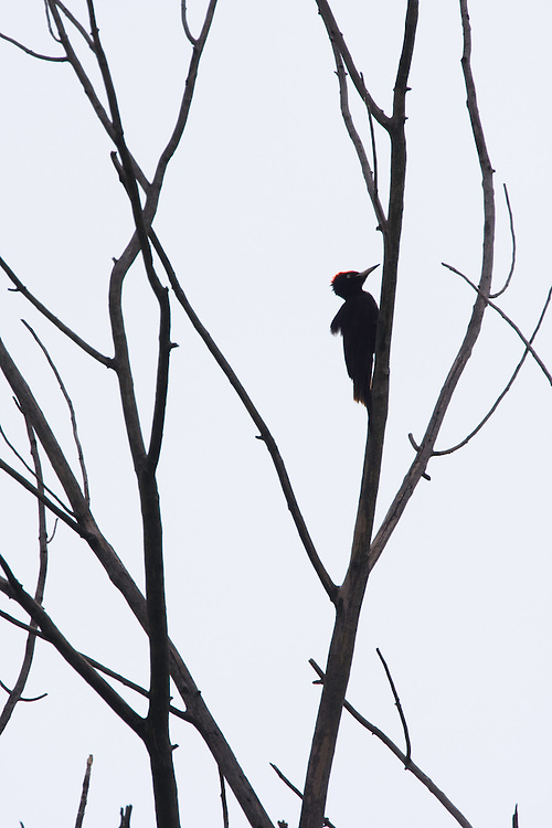 Schwarzspecht, Männchen, Dryocopus martius, Ost-Slowakei / Black Woodpecker, male, Dryocopus martius, East Slovakia