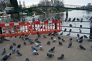 Pigeons sitting beside the River Thames opposite and beneath the footbridge to Eel Pie Island in London, England, United Kingdom.