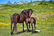 Mare and foal mutual grooming in buttercup meadow, Connemara, County Galway, Ireland