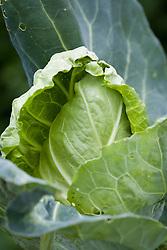 Cabbage Pyramid F1