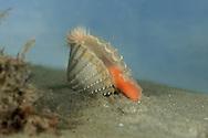 rouigh cockle<br /> Acanthocardia tuberculata