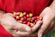 23 OCTOBER 2003 -- TAPACHULA, CHIAPAS, MEX: A worker holds coffee cherries in his hand during the harvest on a small cooperative near Tapachula, Mexico. World coffee prices have been depressed by over production in Brazil and Vietnam and thousands of coffee farmers in Mexico and Guatemala have been forced to emigrate to the US as undocumented workers because of the crisis in the coffee industry. PHOTO BY JACK KURTZ