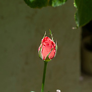 Salmon coloured rose bud opening in the garden