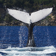 Humpback whale (Megaptera novaeangliae) executing a series of tail slaps. This was an adult female with an accompanying calf. The mother and baby spent several hours playing together, slapping the ocean surface with their tails, breaching, and engaging in other activities. The calf was Orion, the 13th calf I counted during the 2007 season in Vava'u, Tonga.